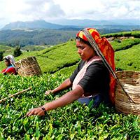 Плантационный чай Цейлон Gutenberg